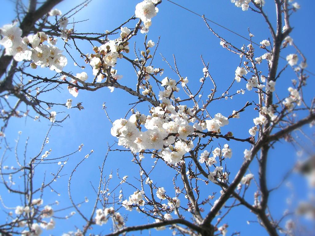 Fiore albicocco